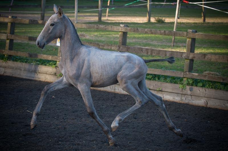 Spanish mare PRE Stud & Purebred Spanish Horse Breeder (Andalusians)