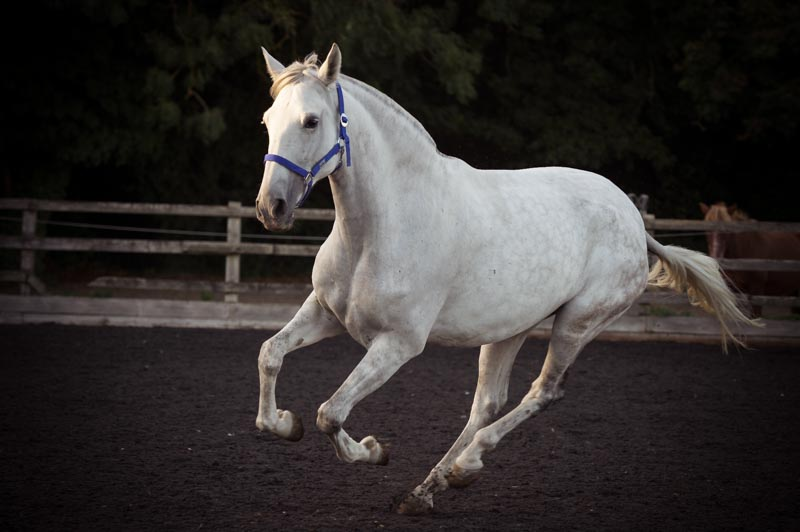 Spanish mare PRE Stud & Purebred Spanish Horse Breeder (Andalusians)