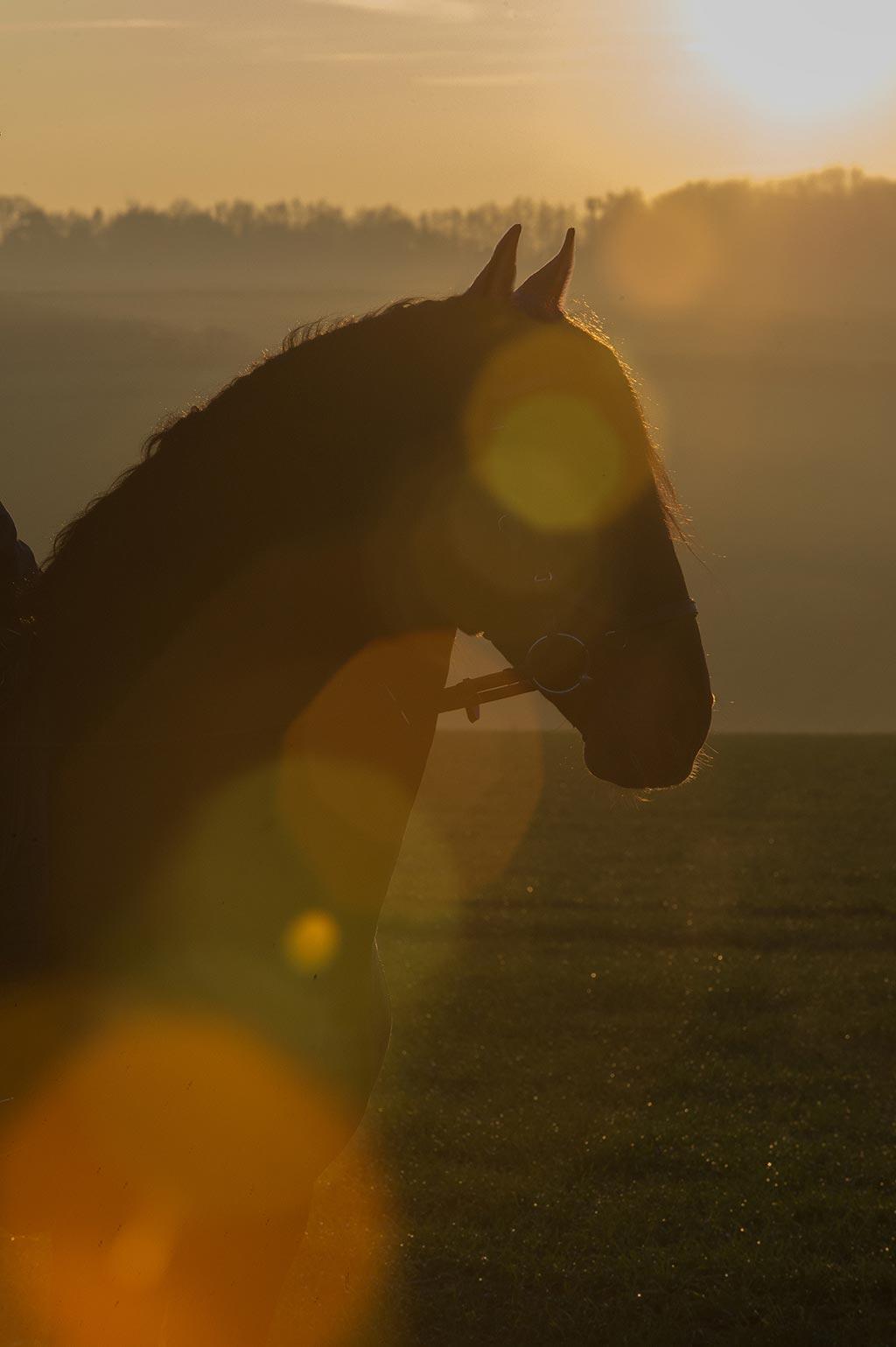 Fermin Bohorquez Spanish stallion PRE Stud & Purebred Spanish Horse Breeder (Andalusians)