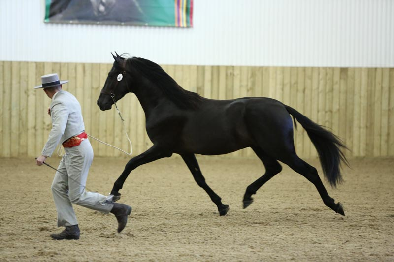 Spanish stallion PRE Stud & Purebred Spanish Horse Breeder (Andalusians)