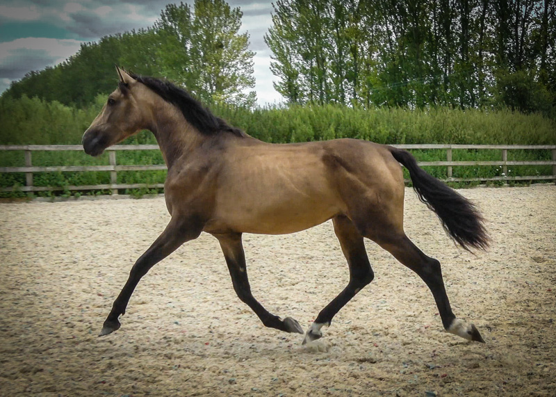 hebreoGT bucksin purebred spanish horse for sale