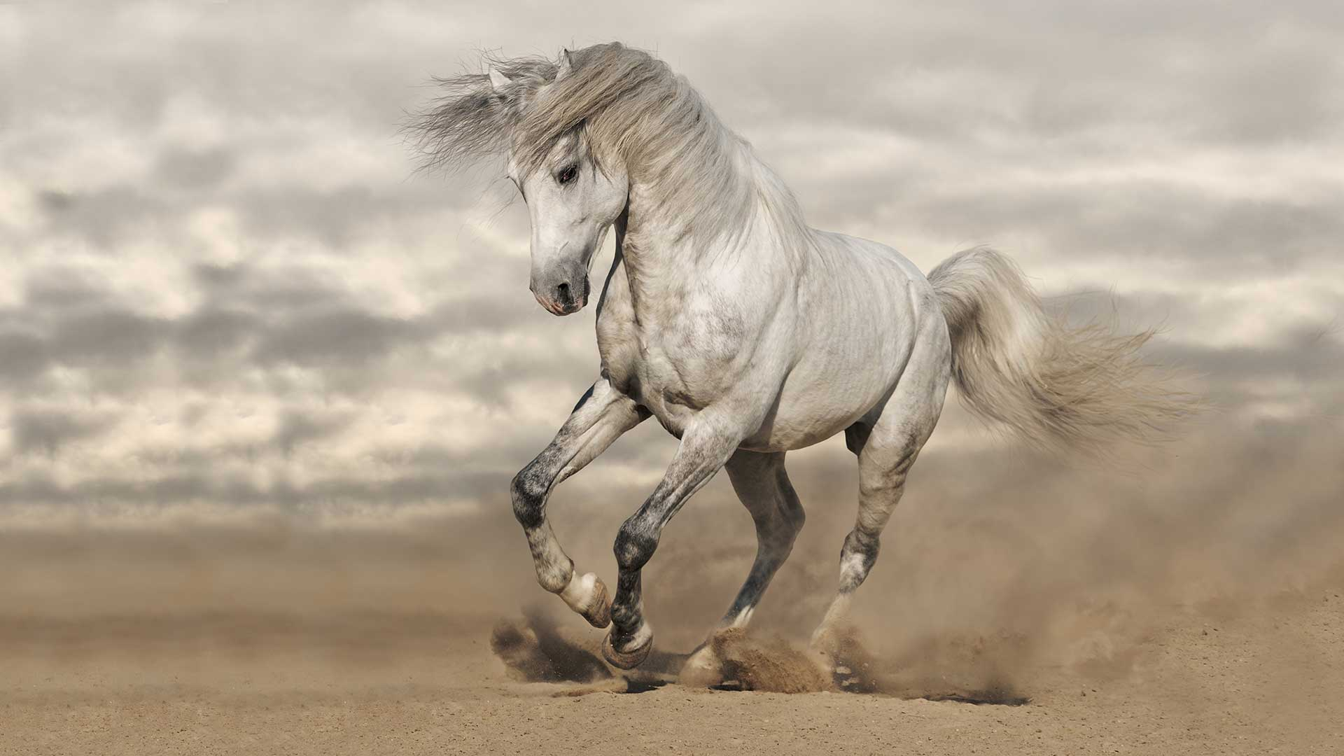 Exceptional Pure Bred Spanish Horses & Andalusians